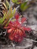 Carnivorous Plant (Drosera Roraimae), Venezuela Photographic Print by Ch'len Lee/Minden Pictures