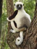 Coquerel's Sifaka (Propithecus Coquereli), Ankarafantsika Nat'l Park, Madagascar Photographic Print by Thomas Marent/Minden Pictures