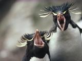 Rockhopper Penguin (Eudyptes Chrysocome), Kidney Island, Falkland Islands Photographic Print by Tui De Roy/Minden Pictures