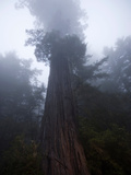 Fog Shrouds a Redwood Tree in Redwood National Park Photographic Print by National Geographic Photographer
