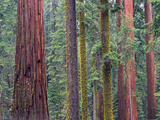 Coast Redwood (Sequoia Sempervirens) Trees, Mariposa Grove, Yosemite National Park, California Photographic Print by Tim Fitzharris/Minden Pictures