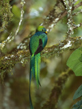 Resplendent Quetzal (Pharomachrus Mocinno) Female Perching in a Tree, Costa Rica Fotodruck von Tom Vezo/Minden Pictures