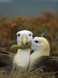 Waved Albatross (Diomedea Irrorata), Punta Cevallos, Espanola Island, Galapagos Islands, Ecuador Photographic Print by Tui De Roy/Minden Pictures