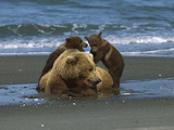 Alaskan Brown or Grizzly Bear (Ursus Arctos) Sow and Cubs on Shore, Katmai Nat'l Park, Alaska Photographic Print by Suzi Eszterhas/Minden Pictures