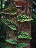 Vine Leaves on Tree Trunk in Rainforest, Borneo, Malaysia Photographic Print by Hiroya Minakuchi/Minden Pictures