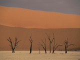 Camelthorn Acacia (Acacia Erioloba) Trees, Sossus Vlei, Namib-Naukluft Nat&#39;l Park, Namibia Fotografie-Druck von Michael and Patricia Fogden/Minden Pictures