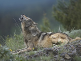 Gray Wolf (Canis Lupus) Howling, North America Photographic Print by Tim Fitzharris/Minden Pictures