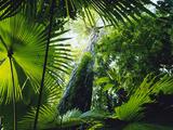 Giant Strangler Fig (Ficus Aurea), Woka Palms (Livistona Rotundifolia), Tangkoko Batuangus Reserve Photographic Print by Michael and Patricia Fogden/Minden Pictures