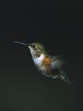 Rufous Hummingbird (Selasphorus Rufus) Female in Flight, Cordova, Alaska Photographic Print by Matthias Breiter/Minden Pictures