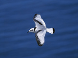 Black-Legged Kittiwake (Larus Tridactyla) Juvenile in Flight, Newfoundland Photographic Print by Tom Vezo/Minden Pictures