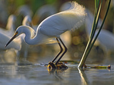 Snowy Egret (Egretta Thula) Fishing, North America Photographic Print by Tim Fitzharris/Minden Pictures