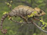 Oustalet's Chameleon (Furcifer Oustaleti), Montagne Des Francais Reserve, Northern Madagascar Photographic Print by Thomas Marent/Minden Pictures