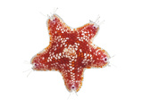 A Sea Starfish Collected from a Sample of Coral Reef Photographic Print by David Liittschwager