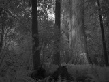 A Massive Redwood Tree in a Grove That Is in a Secret Location Photographic Print by National Geographic Photographer