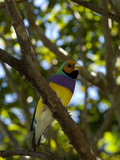 Captive Endangered Lady Gouldian Finch, Erythrura Gouldiae, Perching Photographic Print by Paul Sutherland