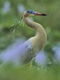 Whistling Heron (Syrigma Sibilatrix), Southern Pantanal, Brazil Photographic Print by Theo Allofs/Minden Pictures
