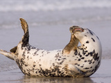 Grey Seal (Halichoerus Grypus) Scratching on Beach, North Sea, Helgoland, Germany Photographic Print by Ingo Arndt/Minden Pictures