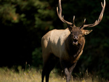 A Roosevelt Elk Bull in Prairie Creek Redwoods State Park Photographic Print by National Geographic Photographer
