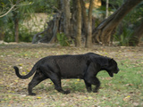 Captive Black Jaguar, Panthera Onca, Roaming in an Outdoor Enclosure Photographic Print by Joel Sartore