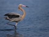 Reddish Egret (Egretta Rufescens) Wading Through Shallow Water, Rio Grande Valley, Texas Photographic Print by Tom Vezo/Minden Pictures