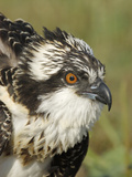 Osprey (Pandion Haliaetus) Portrait, Moschelle, Annapolis Valley, Nova Scotia, Canada Photographic Print by Scott Leslie/Minden Pictures