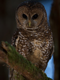 A Threatened Northern Spotted Owl in a Redwood Forest Photographic Print by Michael Nichols