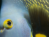 French Angelfish (Pomacanthus Paru) Head Close Up, Nova Scotia, Canada Photographic Print by Scott Leslie/Minden Pictures