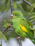 Yellow-Chevroned Parakeet (Brotogeris Chiriri), Pantanal, Brazil Photographic Print by Suzi Eszterhas/Minden Pictures
