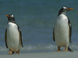 Gentoo Penguin (Pygoscelis Papua) Pair on Beach, Falkland Islands Photographic Print by Theo Allofs/Minden Pictures