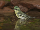 Cerulean Warbler (Dendroica Cerulea) Female Bathing, Rio Grande Valley, Texas Photographic Print by Tom Vezo/Minden Pictures