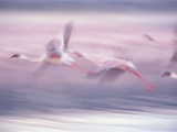 Lesser Flamingo (Phoenicopterus Minor) Flock Flying at Lake Biogorias National Park, Kenya Photographic Print by Gerry Ellis