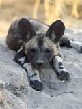 African Wild Dog (Lycaon Pictus) Six to Eight Week Old Pup, Okavango Delta, Botswana Photographic Print by Suzi Eszterhas/Minden Pictures
