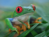 Red-Eyed Tree Frog (Agalychnis Callidryas), Costa Rica Photographic Print by Tim Fitzharris/Minden Pictures