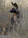 African Wild Dog (Lycaon Pictus) in Tall Grass, Okavango Delta, Botswana Photographic Print by Suzi Eszterhas/Minden Pictures