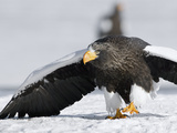 Steller's Sea Eagle (HaliaeetusPelagicus) Walking over Snow in Agressive Posture, Kamchatka, Russia Photographic Print by Sergey Gorshkov/Minden Pictures