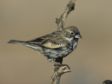 Lark Bunting (Calamospiza Melanocorys) Green Valley, Arizona Photographic Print by Tom Vezo/Minden Pictures