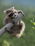 Raccoon (Procyon Lotor) Baby Climbing on Dead Tree Limb, North America Photographic Print by Tim Fitzharris/Minden Pictures