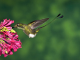 Booted Racket-Tail (Ocreatus Underwoodii) Hummingbird Male Feeding, Western Slope of Andes, Ecuador Photographic Print by Tom Vezo/Minden Pictures