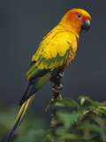 Sun Parakeet (Aratinga Solstitialis), Native to South America Photographic Print by Theo Allofs/Minden Pictures