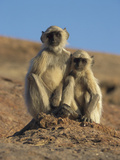 Hanuman Langur (Presbytis Entellus) Pair of Juveniles, India Photographic Print by Ingo Arndt/Minden Pictures