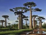 Grandidier's Baobab (Adansonia Grandidieri) Forest Near Morondava, Madagascar Photographic Print by Thomas Marent/Minden Pictures