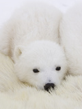 Polar Bear (Ursus Maritimus) Cubs on Top of their Mother, Wapusk Nat'l Park, Manitoba, Canada Fotografisk tryk af Suzi Eszterhas/Minden Pictures