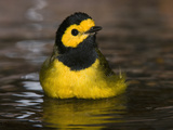 Hooded Warbler (Wilsonia Citrina) Male Bathing, Rio Grande Valley, Texas Fotografie-Druck von Tom Vezo/Minden Pictures