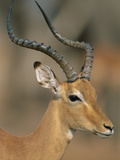 Impala (Aepyceros Melampus) Male, Chobe Nat'l Park, Botswana Photographic Print by Theo Allofs/Minden Pictures
