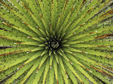 Bromeliad (Puya Sp) Detail Showing Spiraling Leaves, Purace Nat'l Park, Colombia Photographic Print by Thomas Marent/Minden Pictures