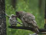 Great Gray Owl (Strix Nebulosa) Adult Feeding Chick, Saskatchewan, Canada Photographic Print by Tom Vezo/Minden Pictures