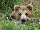 Brown Bear (Ursus Arctos) Cub, Kamchatka, Russia Photographic Print by Sergey Gorshkov/Minden Pictures