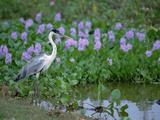 White-Necked Heron (Ardea Cocoi) Pantanal, Brazil Photographic Print by Konrad Wothe
