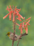 Verdin (Auriparus Flaviceps) Perched on Flower, Green Valley, Arizona Photographic Print by Tom Vezo/Minden Pictures