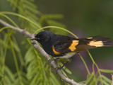 American Redstart (Setophaga Ruticilla) Male Perched on a Branch, Rio Grande Valley, Texas Photographic Print by Tom Vezo/Minden Pictures